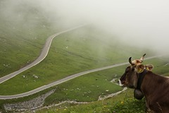 img_3095 (William Sc) Tags: road cow alps mountains landscape animal nature fog