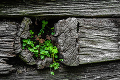Finding one's niche (FotoFloridian) Tags: woodmaterial nature backgrounds leaf old tree greencolor rustic brown textured plant rough closeup weathered timber beam sony alpha a6400