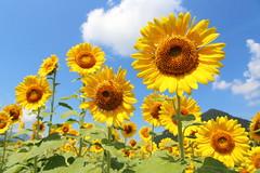 Sunflower (Teruhide Tomori) Tags: japan japon summer sky sunflower nature yellow plants fukui obama field ひまわり 小浜 夏 花 flower 福井県 植物 黄色 空 青空 日本