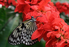 Paper Kite butterfly (Millie Cruz (On and Off)) Tags: paperkite butterfly blackandwhite insect flowers red
