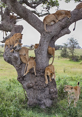 World Lion Day, 10th August (AnyMotion) Tags: worldlionday weltlöwentag 10thaugust2019 lion löwe pantheraleo lioness löwin tree baum liontree 2018 anymotion morukopjes serengeti tanzania tansania africa afrika travel reisen animal animals tiere nature natur wildlife 7d2 canoneos7dmarkii ngc npc