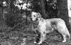 Mein stolzer Hund / My proud dog (Iso-Star) Tags: goldenretriever wald forest wood schwarzweis blackandwhite bwsw sonyilce7m3 sonya7iii drausen outside natur nature