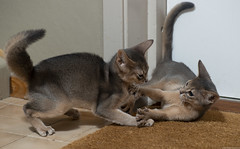 Two Blue Kittens 1 (peter_hasselbom) Tags: cat cats kitten kittens abyssinian blue 11weeksold 2cats 2kittens twocats twokittens play fight game doormat flash 1flash 105mm playfight playing