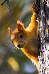 Hello, who are you? (bholmbom81) Tags: bjornholmbom björnholmbom ekorre eyecontact forest nature squirrel tree