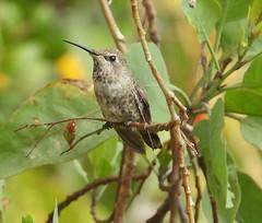 9798e Anna's hummingbird (jjjj56cp) Tags: bird birds aves hummingbird annashummingibrd inthewild ca california lajolla cliffside lajollacove summer june closeup macro details beak feathers eyegleam green gray brown p1000 coolpixp1000 nikoncoolpixp1000 jennypansing