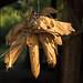 Maiskolben auf einer Schnur zum Trocknen aufgehängt