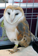 Beautiful barn owls (billnbenj) Tags: barrow cumbria owl barnowl raptor birdofprey