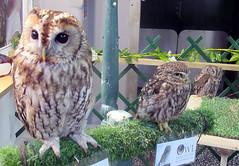 Koko,Thor and Chester (billnbenj) Tags: barrow cumbria owl tawnyowl littleowl westernscreechowl raptor birdofprey