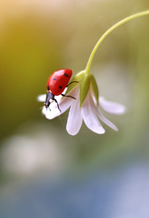 Stellaria (ElenAndreeva) Tags: macro nature garden flower ladybug bug insect dream light sun summer spring canon stellaria andreeva amazing sweet colors colorful composition soft focus bokeh beauty best top 2019 happy happiness flora