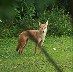 renard roux You looking at me?! Red Fox _MG_6242 (dodochampo) Tags: renardroux redfox gatineau québec canada surprise outdoor animal green field pleinair regard eyes look wild amazing