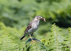 Skomer Island - Meadow Pipit ( Anthus pratensis ) (DaveGray) Tags: skomerisland pembrokeshirecoastnationalpark canoneos70d meadowpipit anthuspratensis