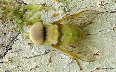 Green Horse Fly, Chlorotabanus sp. (In Memoriam: Ecuador Megadiverso) Tags: andreaskay chlorotabanussp diptera ecuador fly focusstack greenhorsefly horsefly idbyrobertvelten jardinbotanicolasorquideas tabanidae