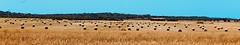 Morgenstimmung nahe Ses Salines (ISO 69) Tags: ses salines sessalines gelb morgen mallorca espana spain spainien spanien baleares balearen photo landwirtschaft