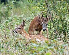 Roe Deer Rut (Warnham Bill) Tags: roe deer rut bill thornton