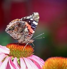 Splash of Summer Colour (Meryl Raddatz) Tags: butterfly flower canada nature naturephotography redadmiral