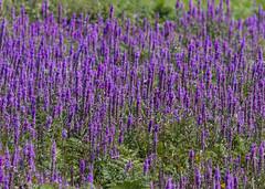 Skomer Island - Purple-loosestrife ( Lythrum saricaria ) (DaveGray) Tags: skomerisland pembrokeshirecoastnationalpark canoneos70d flowers purpleloosestrife lythrumsaricaria