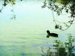 GFX1684 - Duck (Diego Rosato) Tags: duck canard anatra papera oca lago lake natura nature acqua water posta fibreno fuji gfx50r fujinon gf110mm rawtherapee