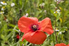 Poppy (Dimormar!) Tags: poppy klaproos natuur nature bloem flower tiengemeten wandeling