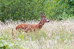 Roe Buck on the move. (Warnham Bill) Tags: roe deer rut bill thornton