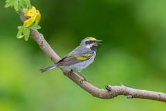 Golden-winged Warbler (Joe Branco) Tags: green ontario canada bird branco photoshop nikon joe warbler lightroom goldenwingedwarbler nikond850 joebrancophotographer