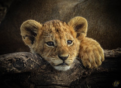 LET ME LIVE (eliewolfphotography) Tags: lion lions animals african lionking lioncub cub cuteanimals c conservation tanzania safari serengeti serengetinationalpark safariphotography nature nikon naturephotography animallovers natgeo nationalgeographic