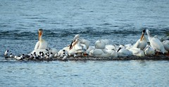 Am. White Pelicans & Franklin's Gulls (pamfromcalgary) Tags: birds americanwhitepelican franklinsgulls carburnpark