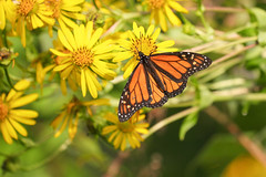 Monarch Butterfly (mnolen2) Tags: rosinweed cupplant plant flower butterfly monarch nature