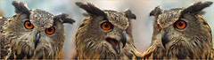 Triple Eurasian Eagle Owl (Foto Martien) Tags: eurasianeagleowl europeaneagleowl deserteagleowl oehoe northerneagleowl uhu indiangreathorned búhoreal guforeale filin chouettegrandduc grandducdeurope hibougrandduc puhu výrvelký syczek puchaczzwyczajny обыкновенныйфилин ウァシミミヅク puhač ワシミミズク אוח buhal bubobubo palearctic cosmopolitan temperate polar terrestrial tundra taiga desert dune savanna grassland forest scrubforest mountains marsh swamp agricultural nocturnal crepuscular solitary territorial carnivore birds mammals reptiles insects uil largeowl birdofpray svenja raptor hunter roofvogel luttelgeest orchideeënhoeve roofvogelshow valkenier falconer netherlands nederland holland dutch collage minoltamacro100mm28mm sonyalpha77 sonyslta77v a77 martienuiterweerd fotomartien