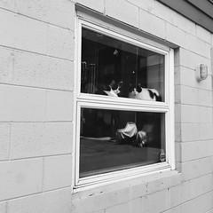 three's a crowd (mennyj) Tags: hudson valley ny newyork catskill catskills mountains roadtrip vacation summer 2019 mobile iphone iphone7 americana travel cats judged window kingston getlost