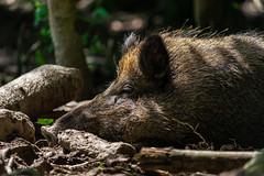 wildschwein-3 (Mike_B_STR) Tags: wildschwein