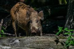 wildschwein-1 (Mike_B_STR) Tags: wildschwein