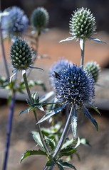 Sea Holly (celia.mulhearn) Tags: canon1855mm flower westsomersetrailway seaholly