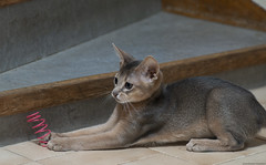 Spiral Catcher (peter_hasselbom) Tags: cat cats kitten kittens abyssinian 11weeksold blue play game hunt spiral toy stairs flash 1flash 105mm