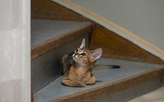 Mookai on the Stairs (peter_hasselbom) Tags: cat cats kitten kittens abyssinian 11weeksold ruddy usual stairs flash 1flash 105mm