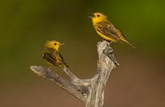 Canario de Manglar, Yellow Warbler (Setophaga petechia) (Juan Alberto Taveras) Tags: canariodemanglar setophagapetechia yellowwarbler dominicanrepublic disk6 montecristi