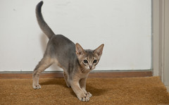 Screatching the Mat (peter_hasselbom) Tags: cat cats kitten kittens abyssinian blue 11weeksold play game doormat flash 1flash 105mm