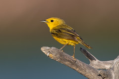 Canario de Manglar, Yellow Warbler (Setophaga petechia) (Juan Alberto Taveras) Tags: canariodemanglar yellowwarbler setophagapetechia dominicanrepublic montecristi disk6