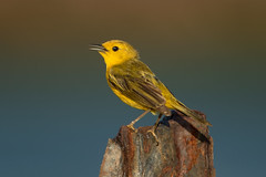 Canario de Manglar, Yellow Warbler (Setophaga petechia) (Juan Alberto Taveras) Tags: canariodemanglar yellowwarbler setophagapetechia