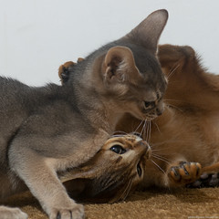 Infight (peter_hasselbom) Tags: cat cats kitten kittens abyssinian 11weeksold ruddy usual blue 2cats 2kittens twocats twokittens play fight playfight playing flash 1flash 105mm