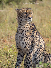 Handsome Cheetah Portrait ( 2) (moelynphotos) Tags: cheetah animalwildlife animalsinthewild maleanimal portrait oneanimal spotted feline bigcat selectivefocus nature outdoors travel adventure safarianimal safari southafrica limpopoprovince welgevondenprivategamereserve nopeople moelynphotos
