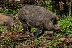 wildschwein-03993 (Mike_B_STR) Tags: wildschwein