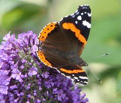 Red Admiral (eric robb niven) Tags: ericrobbniven scotland redadmiral butterfly wildlife nature springwatch