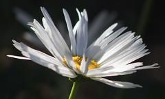 Daisy (Gill Stafford) Tags: flower flora daisy oxeye garden flowerhead'flowerhead'closeup'closeup'macro