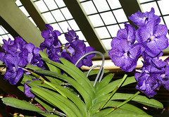 2019 orchids in the park, sfos show & sale, Vanda Pakchong Blue hybrid orchid (nolehace) Tags: 2019 orchidsinthepark sfos summer show sale goldengatepark sanfranciscoorchidsociety event vanda pakchong blue hybrid orchid 719 nolehace sanfrancisco fz1000 flower bloom plant