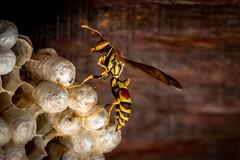 the queen (robertskirk1) Tags: nature outdoor wildlife animal insect paper wasp nest mclean virginia va queen 5d canon mark4 markiv mk4