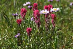 Castilleja parviflora, Magenta Painbrush (jlcummins) Tags: mountrainiernationalpark washingtonstate nachespeaklooptrail chinookpass hike piercecounty