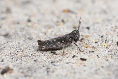 Mottled Grasshopper (Ralph J Clark) Tags: mottledgrasshopper grasshopper heathland thursleycommon sigma105mmf28exdgmacroos surrey
