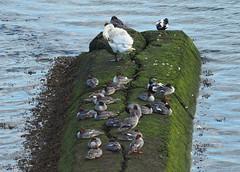 many mergansers (Johnson Cameraface) Tags: 2019 july summer olympus omde1 em1 micro43 mzuiko 40150mm f40f56r johnsoncameraface berwickupontweed estuary rivertweed merganser swan eider ducks northumberland