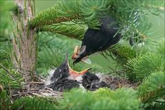 Eastern Kingbird Nest Action (Daniel Cadieux) Tags: kingbird easternkingbird nest nestlings nesting feeding feed hungry food closeup forest evergreen spruce predator prey