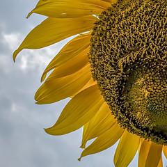 Sunflower 01 (jolynne_martinez) Tags: sunflower flower flowering plant growing garden gardening sky blue clouds cloudy yellow petals googlepixel flickraward